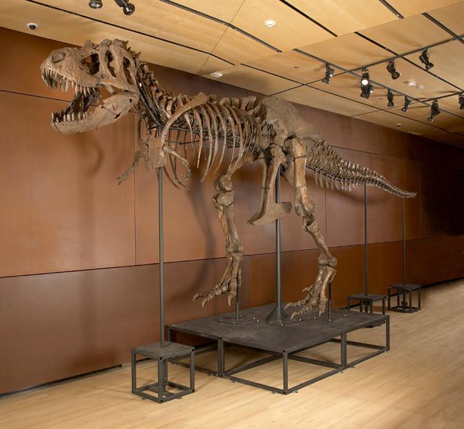 Samson, a 66-million year old Tyrannosaurus rex fossil